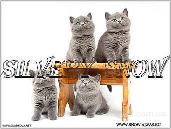Голубые британские котята. Фото и видео.