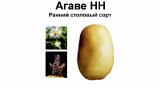 Семенной картофель, сорт Агаве.