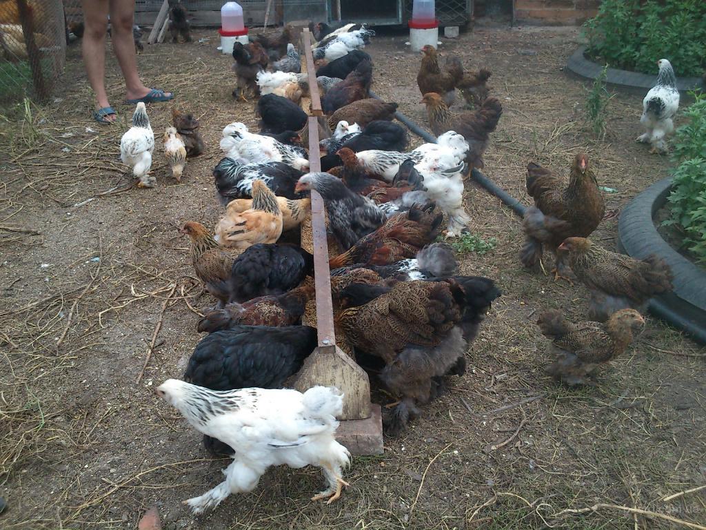 Выращивание кур брама в домашних условиях 63