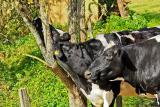 Достоинства искусственного осеменения крупного рогатого скота