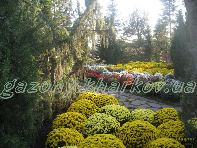 Сезонное предложение хризантема