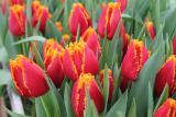 Луковицы тюльпанов для выгонки из Голландии. Опт от 100 шт.