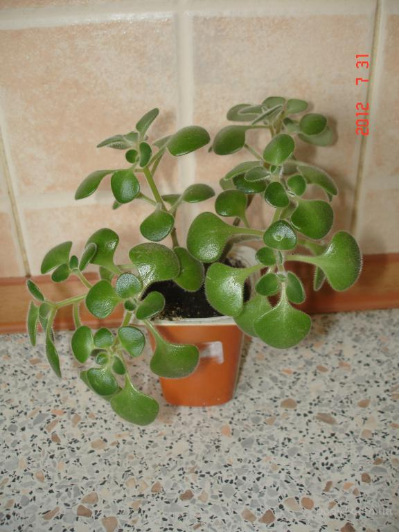 Аихризон дерево любви цена 10 грн