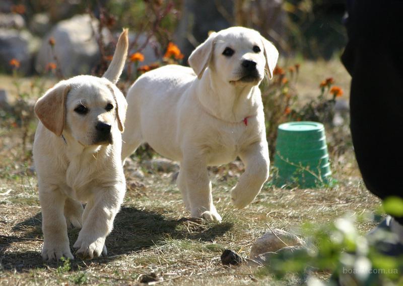 Собаки, щенки, ар крым, симферополь, цена