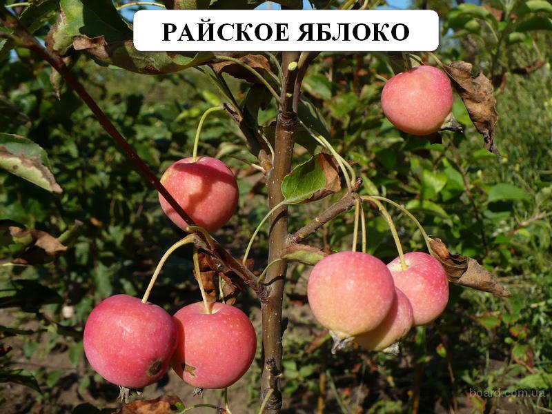 30. Райские яблоки. продам. грн.