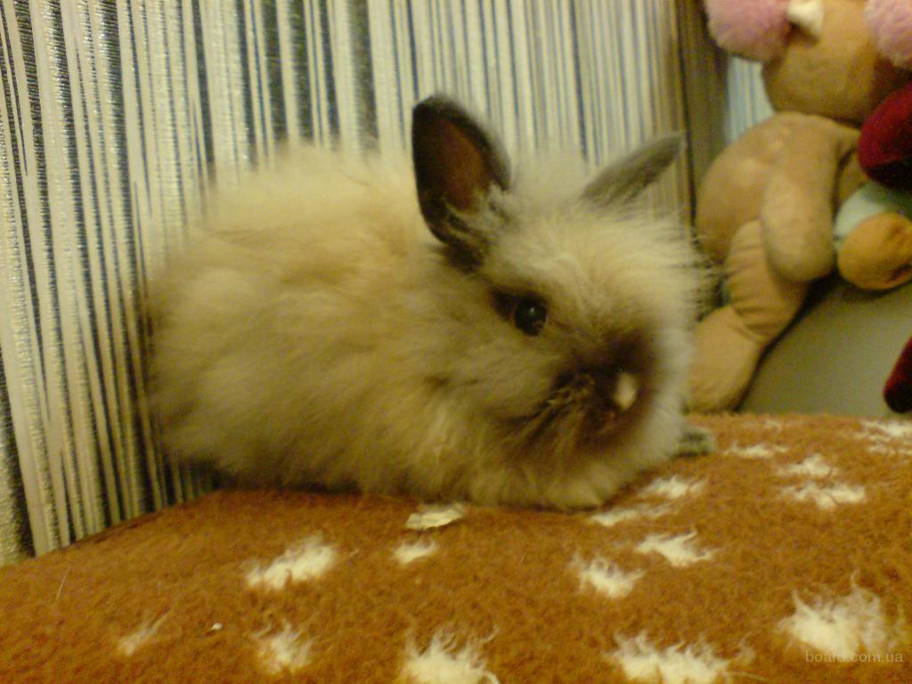 Ангорский кролик продам