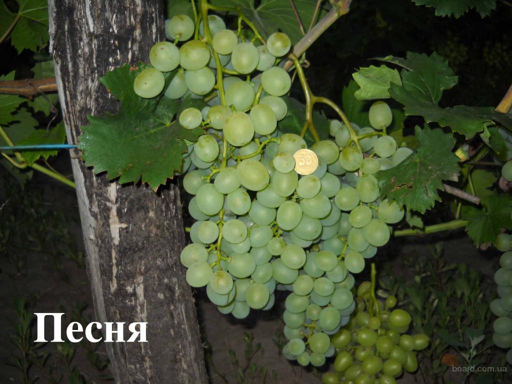 виноград песня описание сорта фото изменить профиль интерфейсе