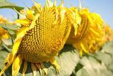 Семена подсолнечника (сорта и гибриды)