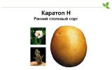 Сорт картоплі Каратоп