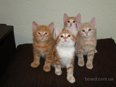 котята гладкошерстные фото